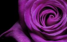 rose-medium
